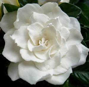 Бялата гардения - Марша Арьнс